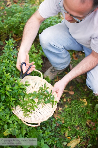 Harvesting peppermint
