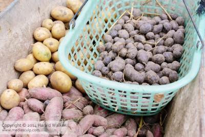 Kartoffelernte 2014 mit Triplo, Rote Emma und Bergerac.
