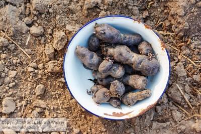Vitelotte Noire Kartoffel vor der Aussaht