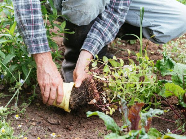 Pflanzung von Japanischer Heilminze (Mentha arvensis x spicata)